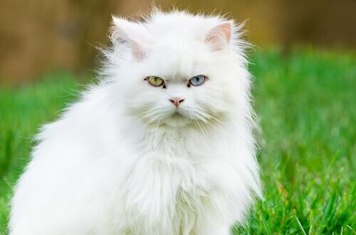gato branco angorá com olhos de duas cores diferentes