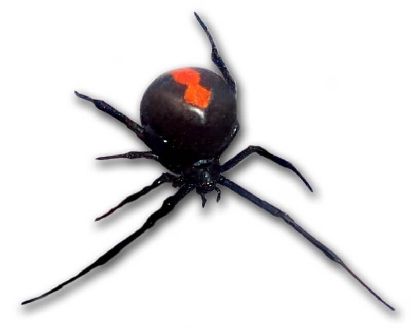 Aranha-das-costas-vermelhas