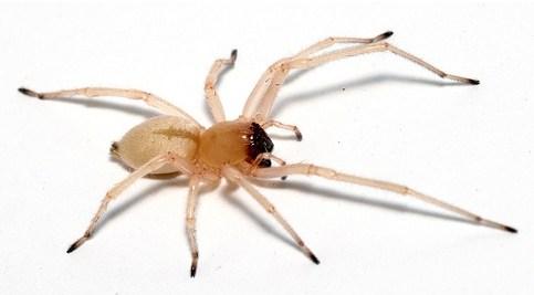 Aranha-do-saco-amarelo
