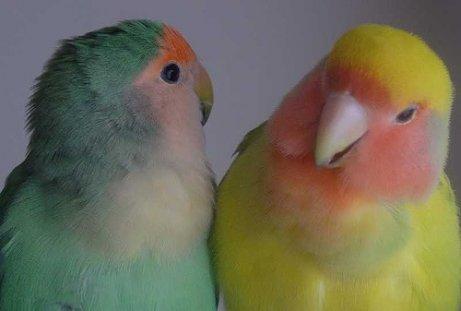 Aves como bicho de estimação: o melhor é ter casal de aves