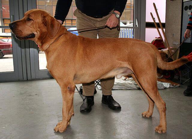 O cão broholmer