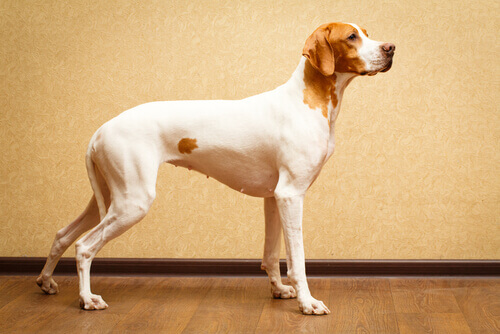 Raças de cães de pelos curtos