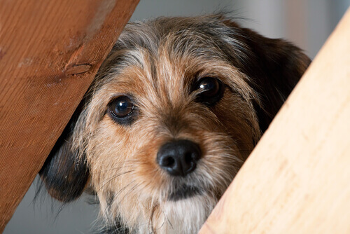 Cachorro tímido