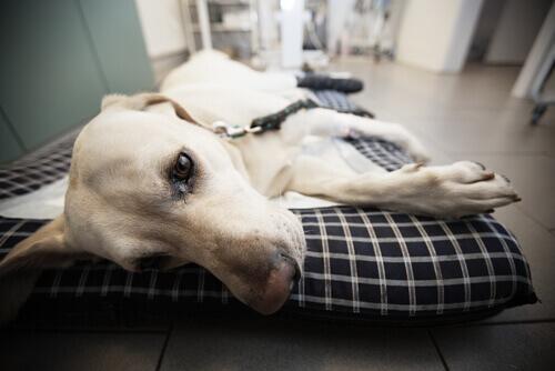 Cachorro hospitalizado