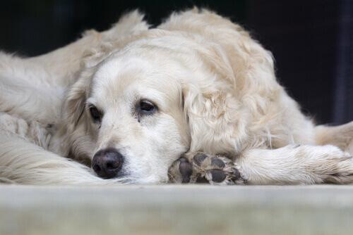 Cachorro branco deitado