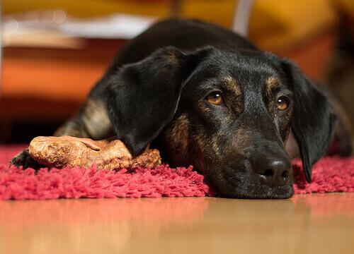 Cachorro preto e marrom descansando sobre tapete vermelho