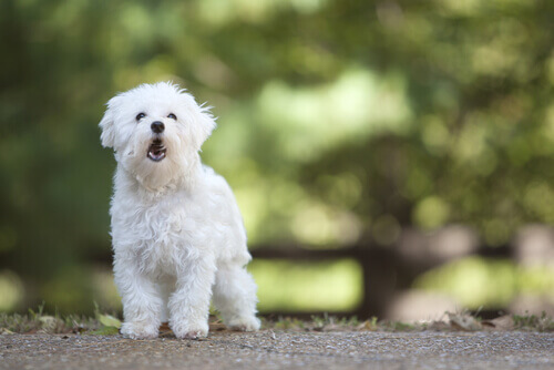 Cachorro branco latindo
