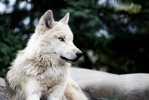 Existe o cão-lobo?