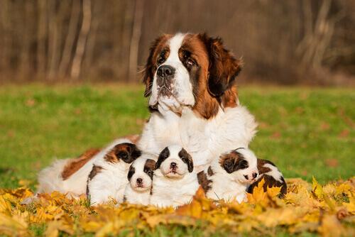 São Bernardo com filhotes