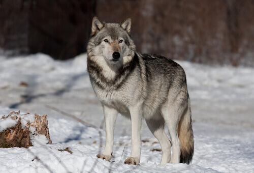 Realmente o cão vem do lobo?