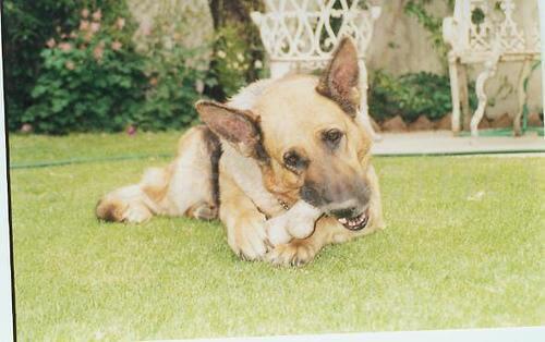 Cachorro com osso de limpeza dental na boca