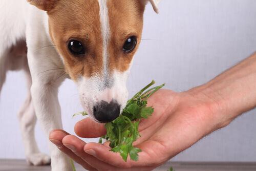 Cachorro comendo verdura