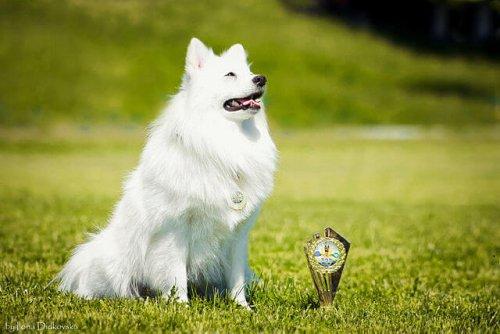 Raças de cães do japão
