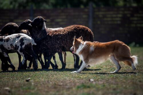 Cachorro pastoreando ovelhas