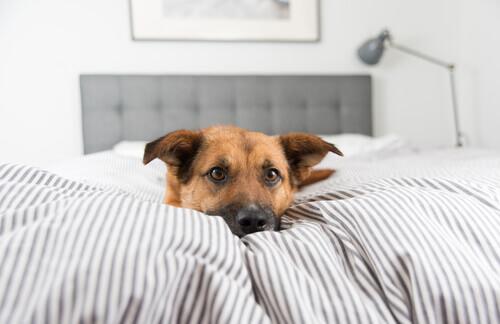 Cachorro deitado na cama dos donos