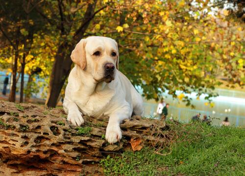 Cão labrador no parque