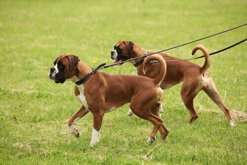 cães passeando com coleiras