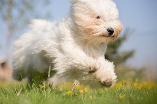 cão branco e fofo correndo no campo
