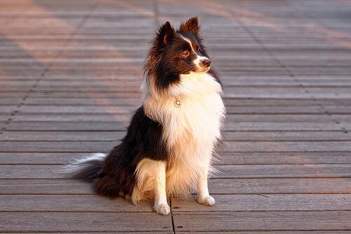 Cachorro preto e branco