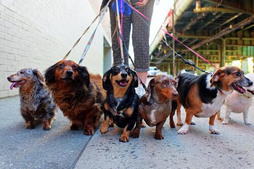 Cachorros passeando de coleira