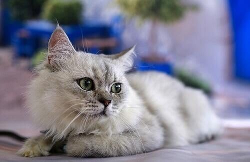 Comunicação felina: seu gato fala