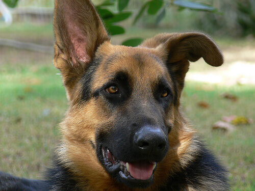 Conselhos sobre cortar as orelhas do cachorro