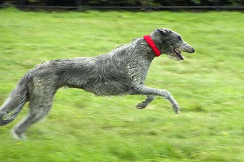 Deerhound escocês