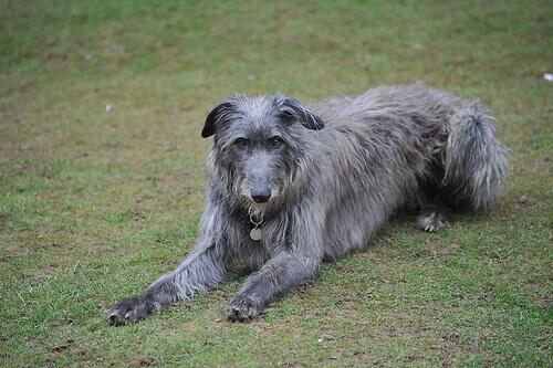Deerhound escocês ou lébrel escocês