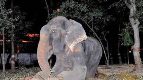 Elefante idoso vítima de maus-tratos