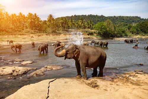 Elefantes tomando banho em rio na natureza