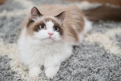Como adestrar um gato em casa?