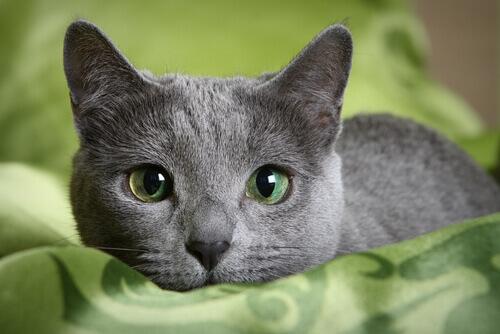 gato azul russo de olhos verdes