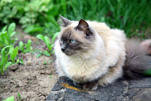 gato balinês