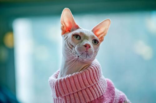 Sphynx usando suéter rosa
