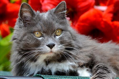 Gato cinza