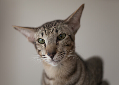 Gato oriental: conheça essa raça