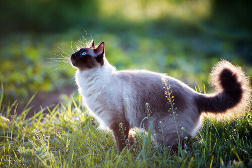 Gato Siamês no jardim