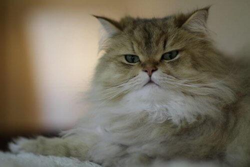 Raças de gatos de pelo longo