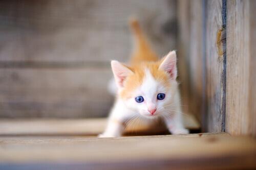 filhote de gato laranja e branco