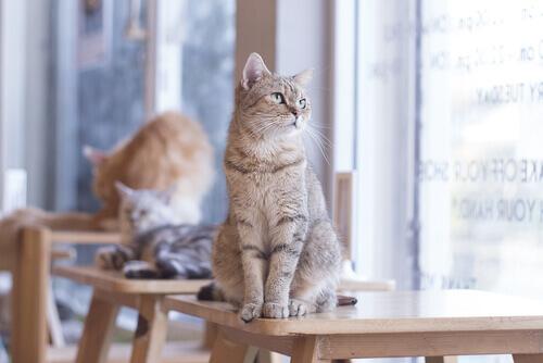 Gatos sobre mesas