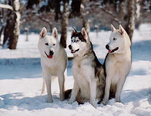Cães na neve