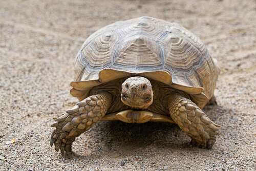 Tartaruga terrestre