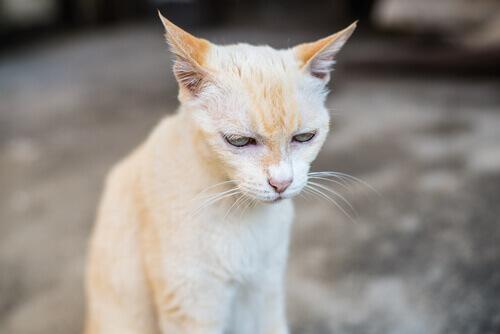 O que você deve saber sobre a insuficiência renal em gatos idosos