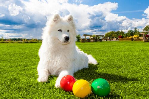 Cachorro no campo com bolas coloridas