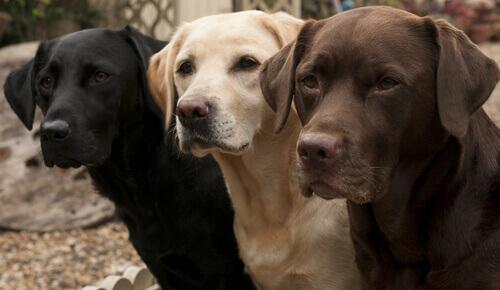 Cachorro preto, bege e marrom