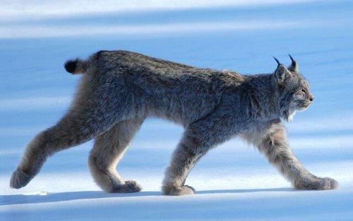 Lince-do-canadá caminhando sobre a neve