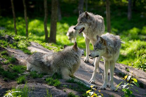 Lobos na natureza