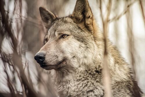 Lobo na natureza