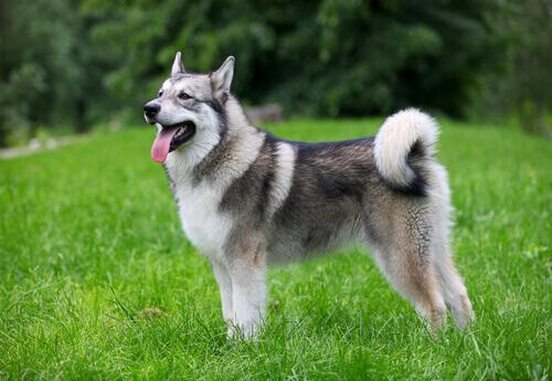 Cachorro da raça malamute do alasca