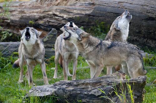 O comportamento de uma manada de lobos